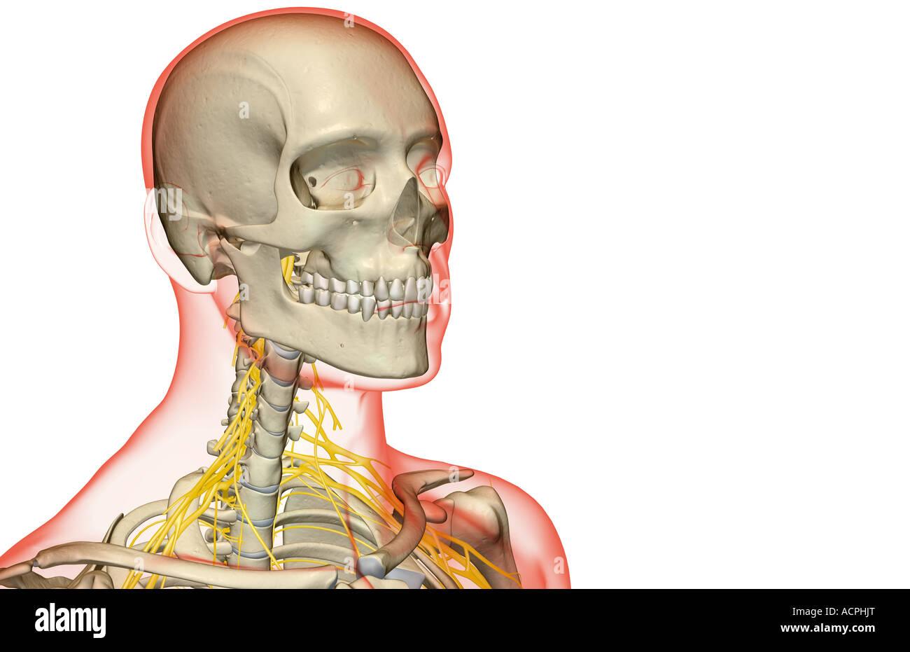 Schön Anatomie Des Halses Dreiecke Galerie - Menschliche Anatomie ...