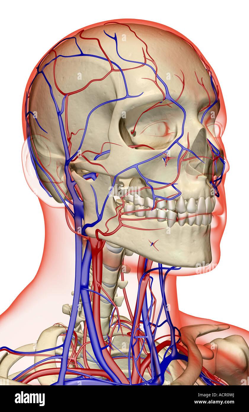 Tolle Nerven Im Kopf Und Hals Bilder - Menschliche Anatomie Bilder ...