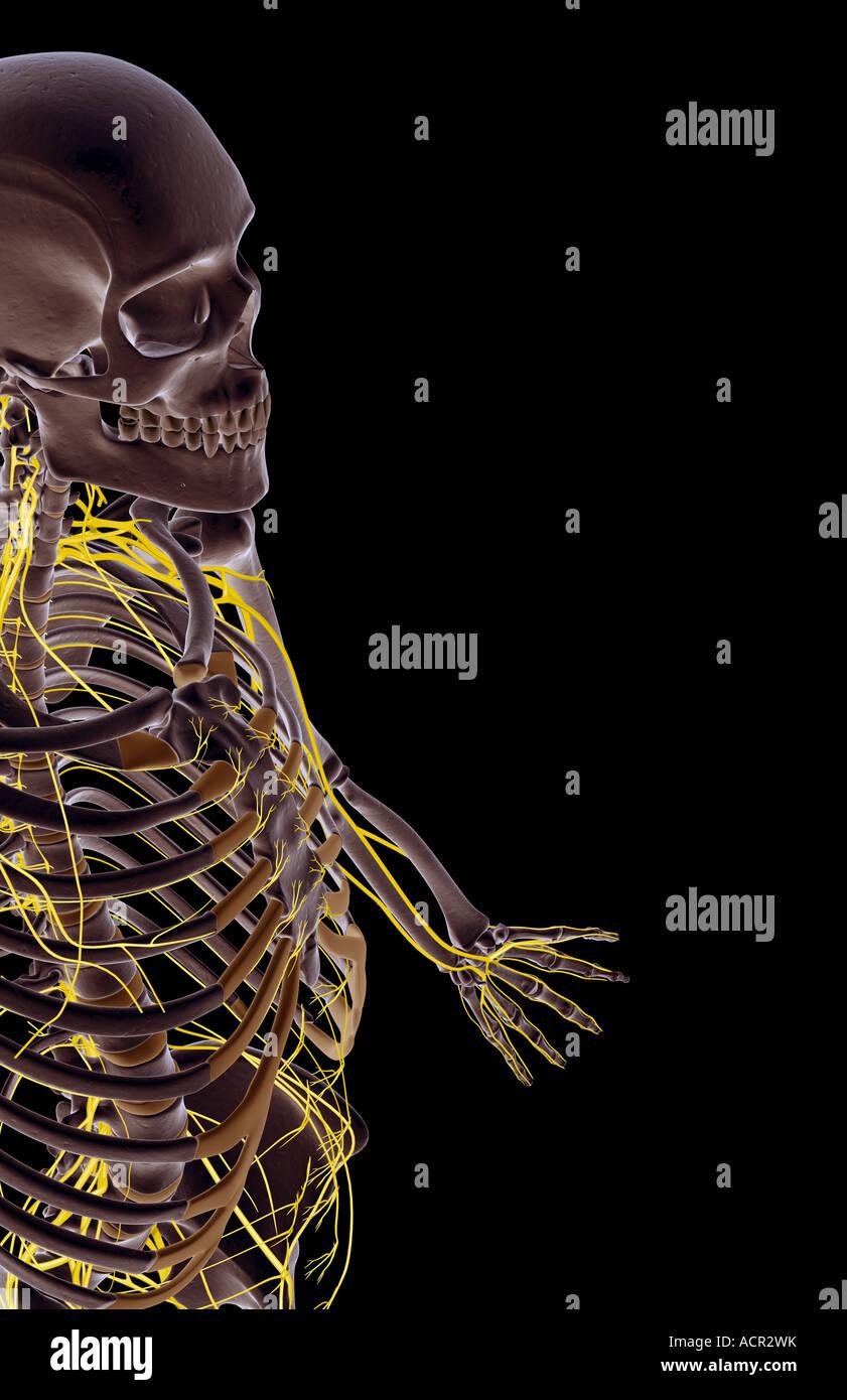 Die Nerven des Oberkörpers Stockbild