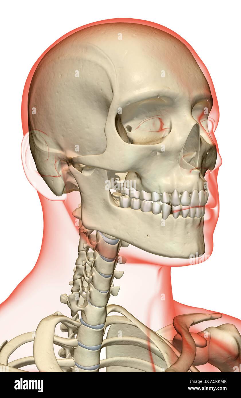 Tolle Hals Knochen Fotos - Physiologie Von Menschlichen ...