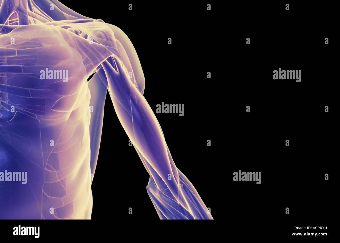 Die Muskeln der Schulter und Oberarm Stockfoto, Bild: 13220020 - Alamy