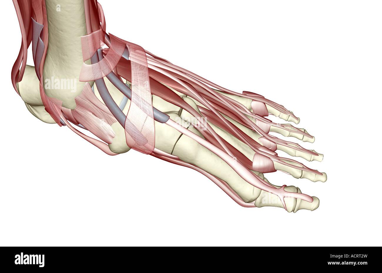 Ausgezeichnet Muskeln Des Fußes Zeitgenössisch - Menschliche ...
