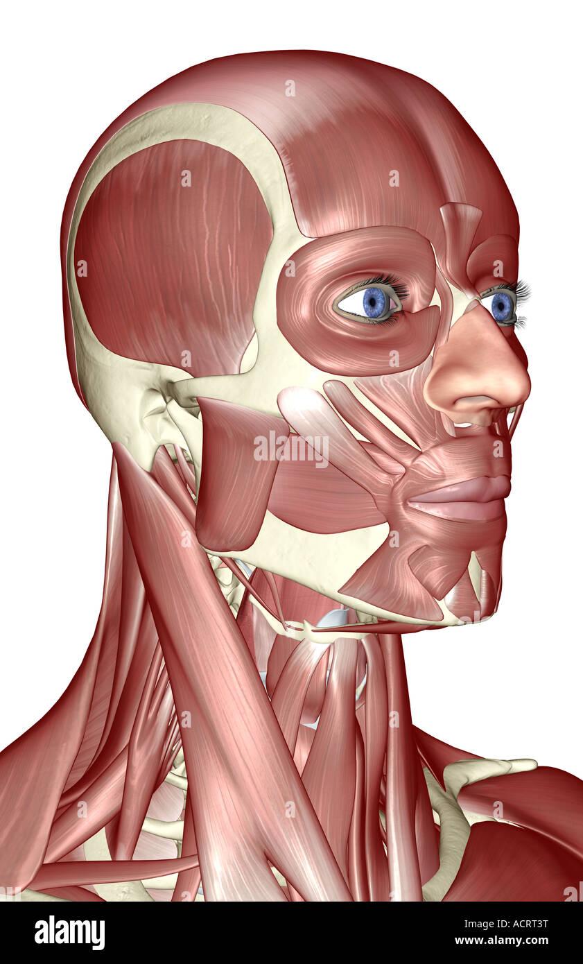 Ziemlich Muskeln Des Gesichts Und Des Halses Diagramm Fotos ...