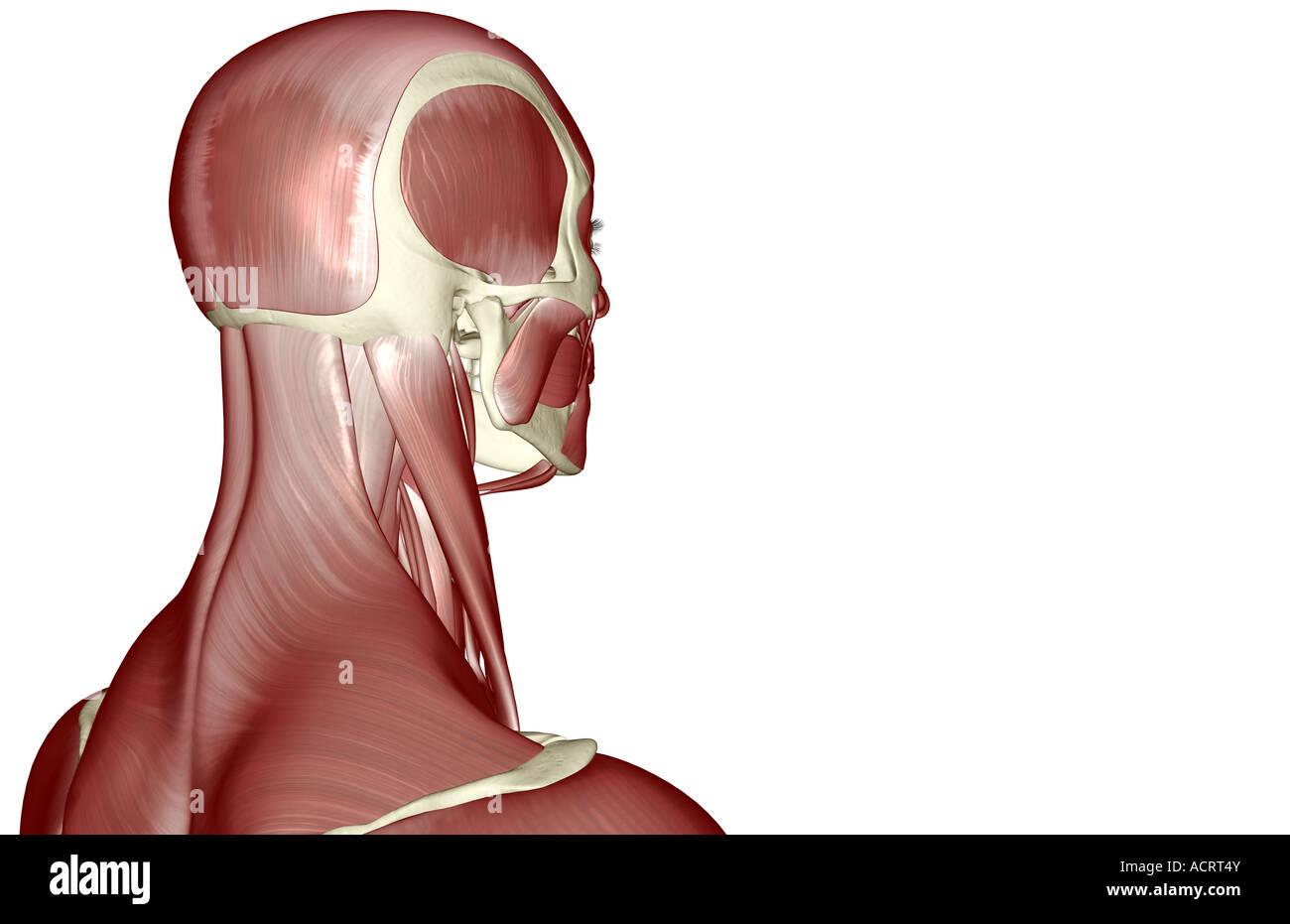 Ausgezeichnet Muskel Des Kopfes Und Des Halses Ideen - Menschliche ...