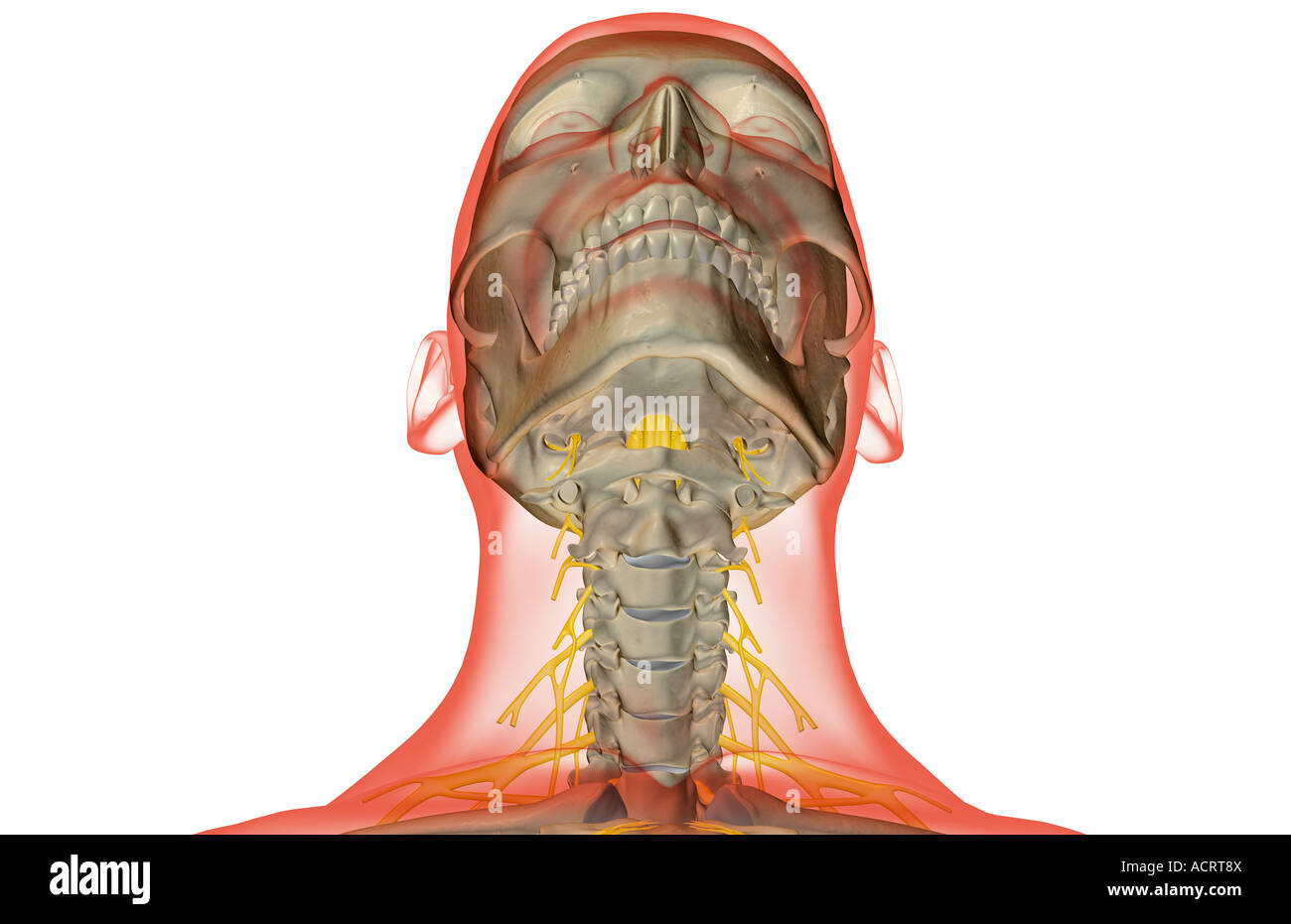 Die Nerven des Halses Stockfoto, Bild: 13220137 - Alamy