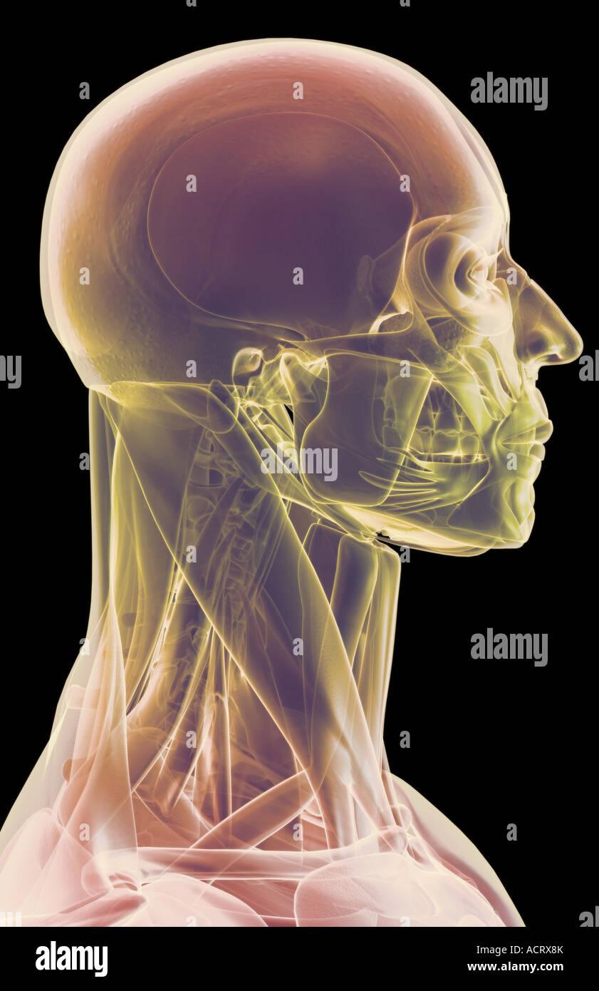 Die Muskeln von Kopf, Hals und Gesicht Stockfoto, Bild: 13220802 - Alamy