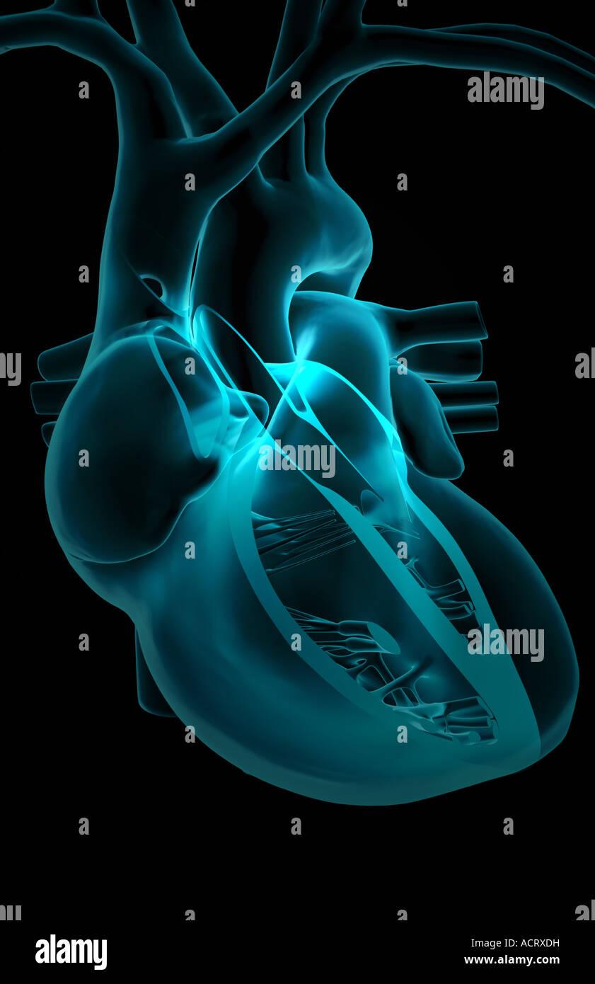 Sektionaltore Anatomie des Herzens Stockfoto, Bild: 13220860 - Alamy