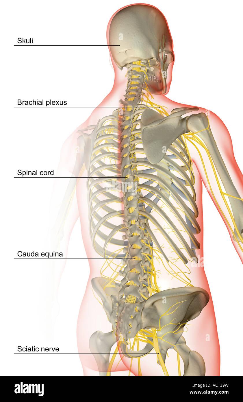 Ungewöhnlich Syatic Nerven Bilder - Menschliche Anatomie Bilder ...