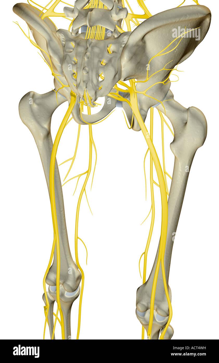 Die Nerven der unteren Extremität Stockfoto, Bild: 13223020 - Alamy