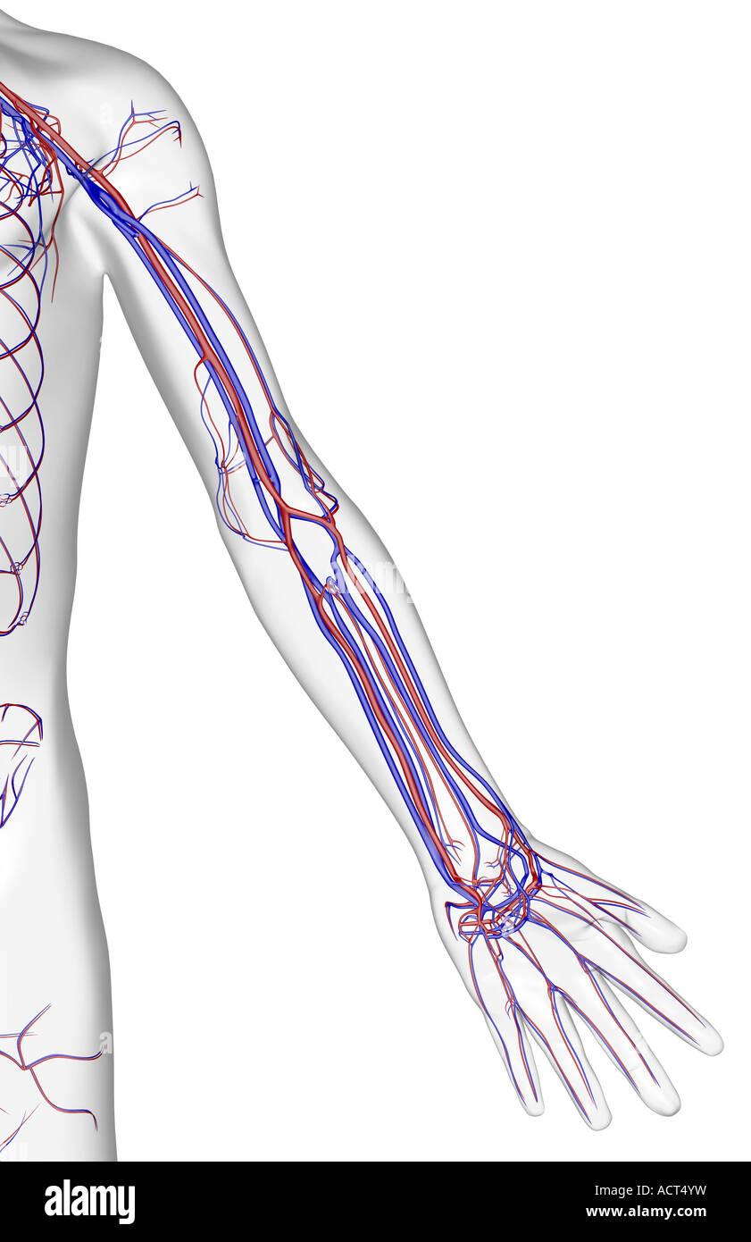 Arm Arteries Stockfotos & Arm Arteries Bilder - Seite 2 - Alamy