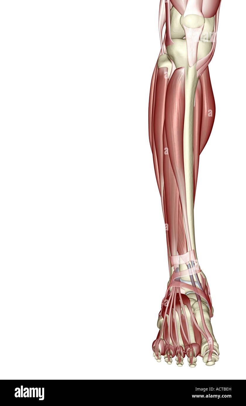 Die Muskeln des Beines Stockfoto, Bild: 13225240 - Alamy