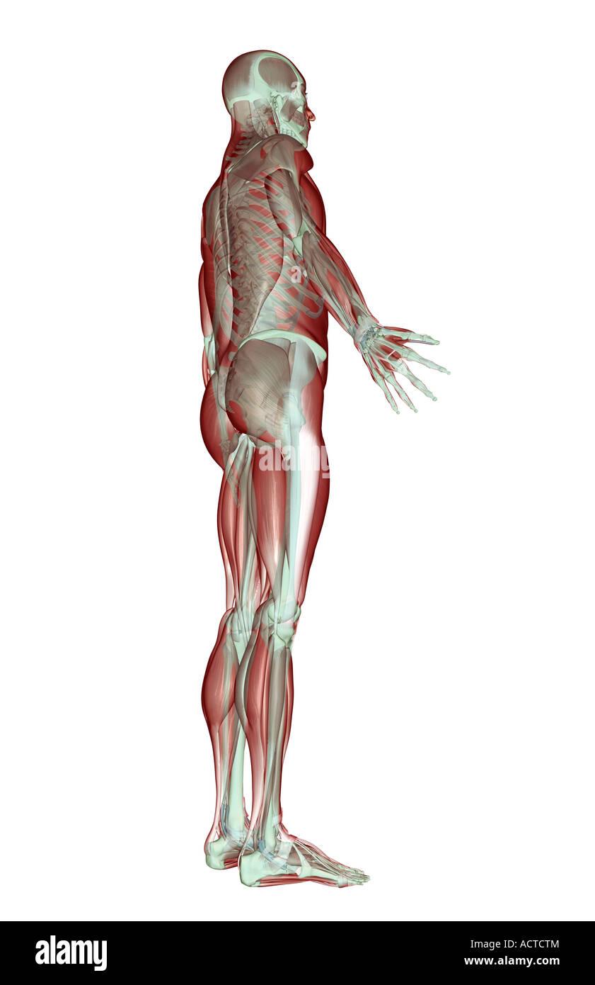 Fein Anatomie Und Physiologie Des Skelett System Bilder ...