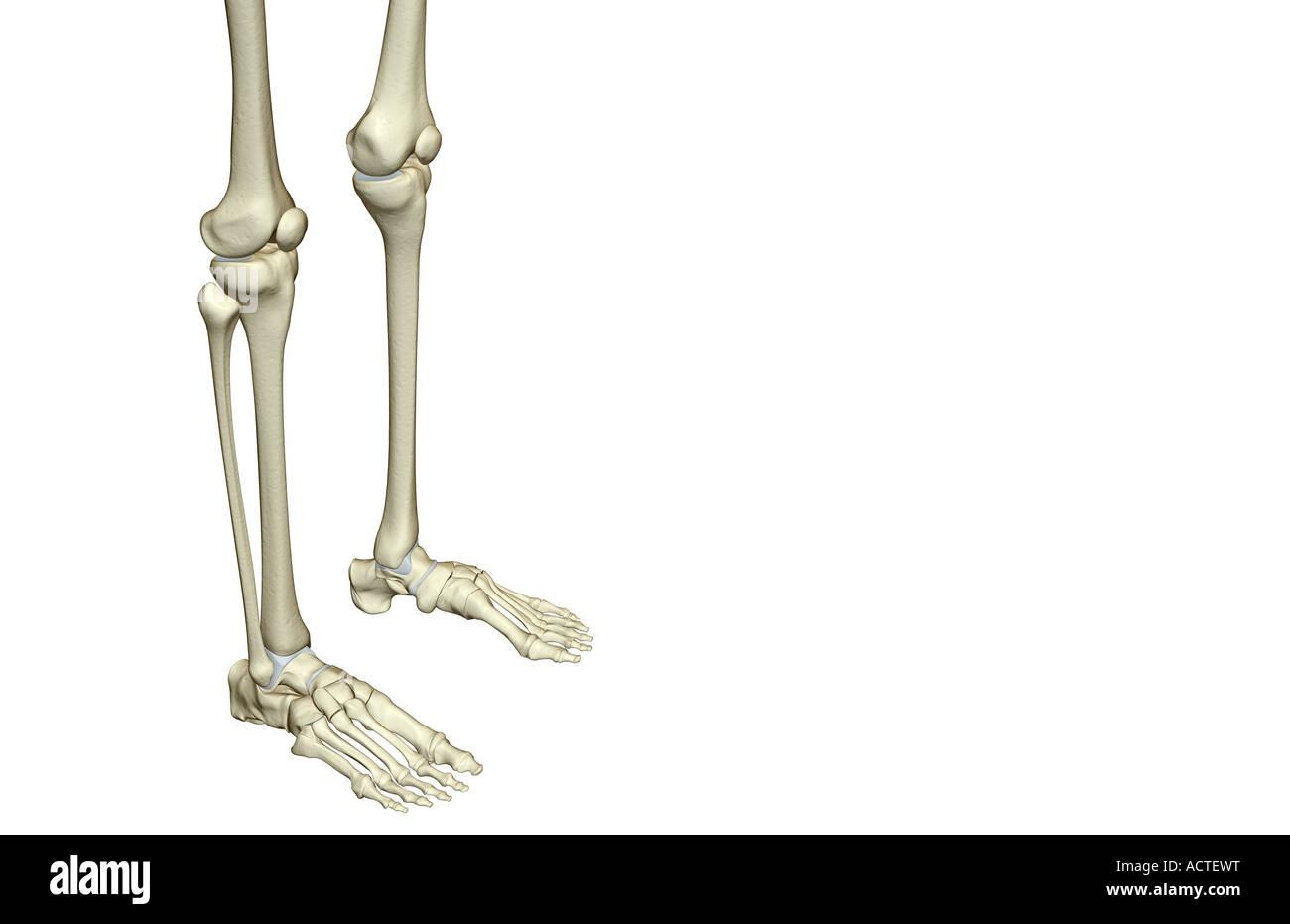 Gemütlich Anatomie Des Beines Zeitgenössisch - Menschliche Anatomie ...