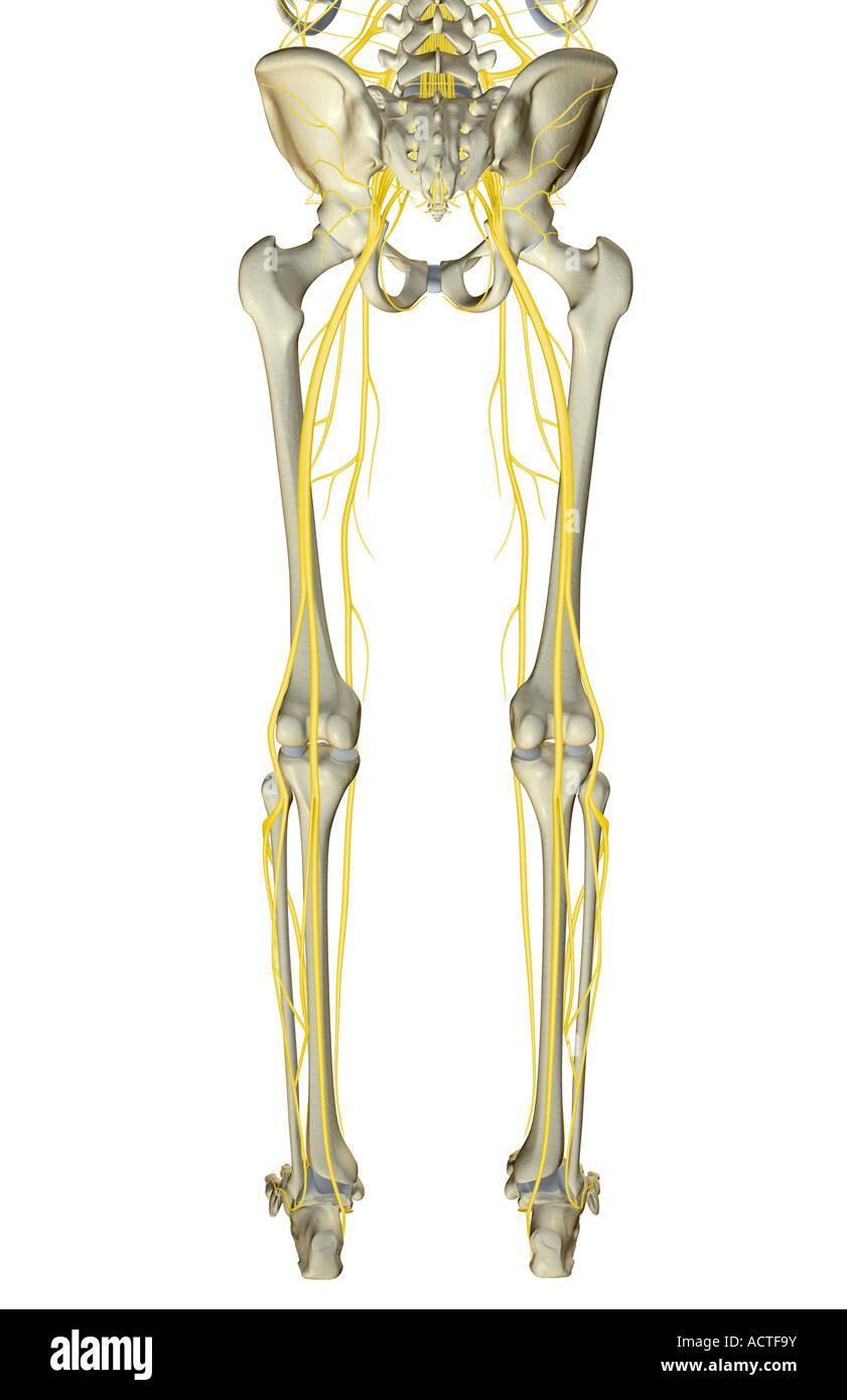Die Nerven der unteren Körperhälfte Stockfoto, Bild: 13226534 - Alamy