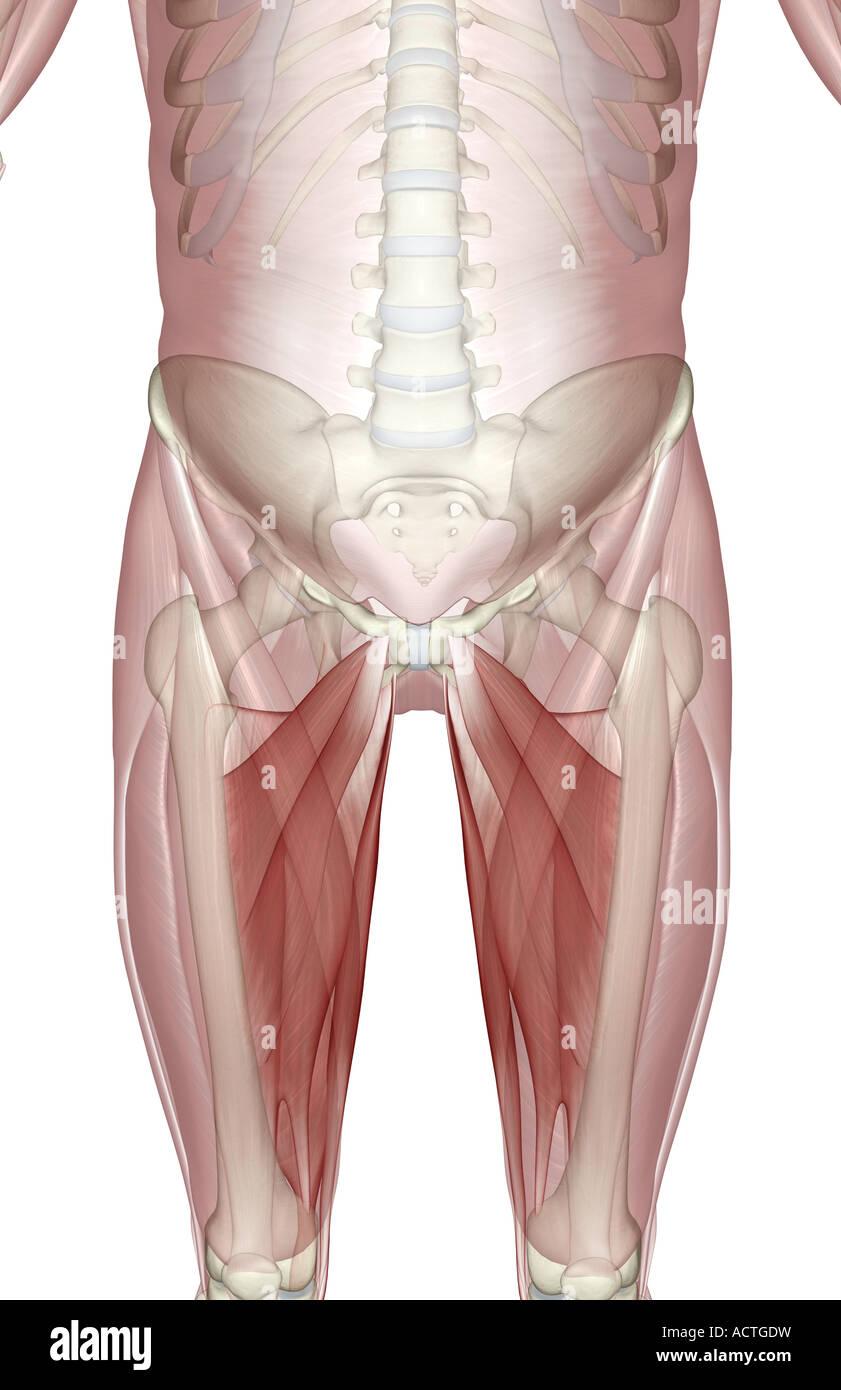 Muskeln Oberschenkel