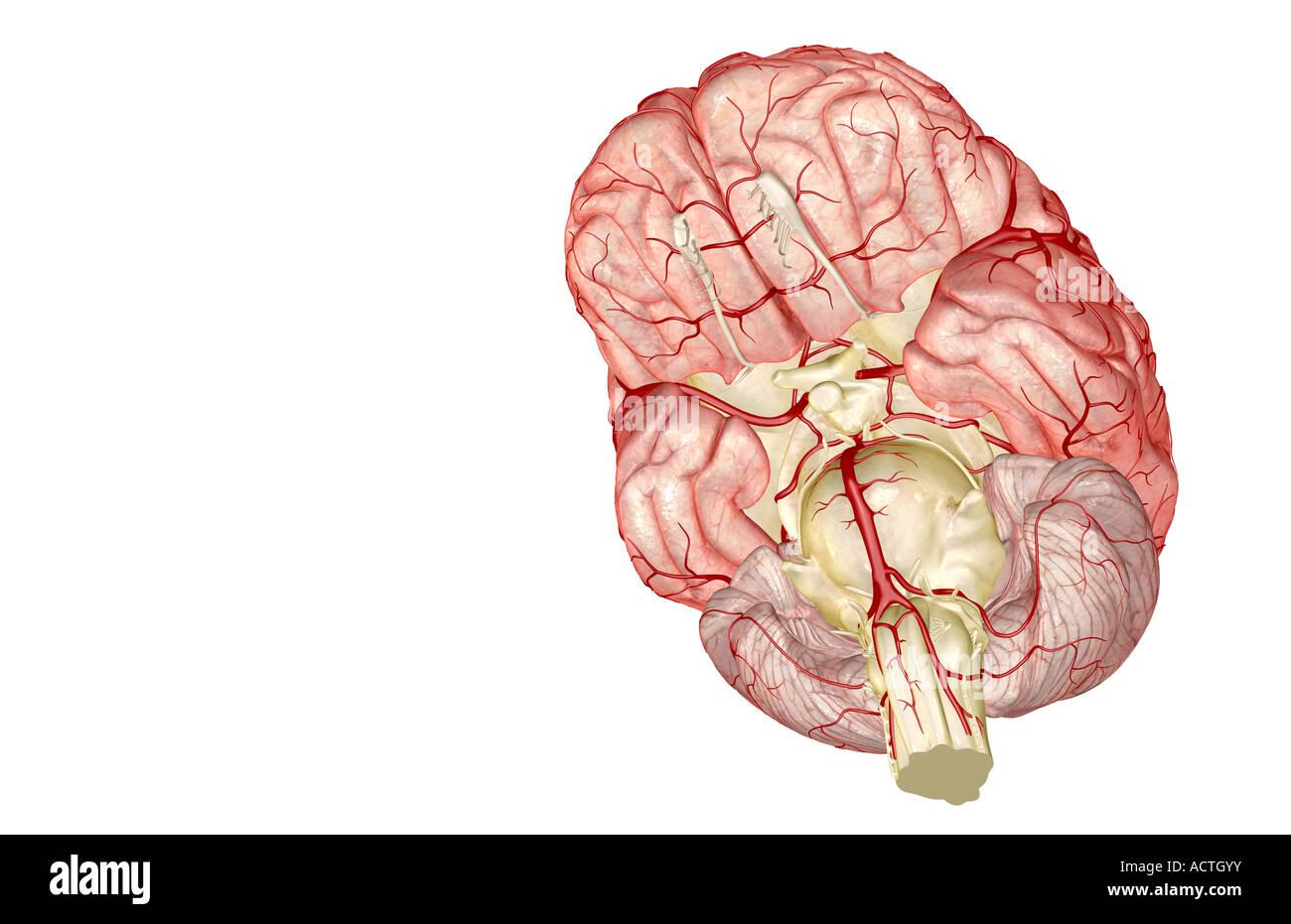 Beste Anatomie Des Gehirns Leicht Gemacht Galerie - Anatomie Ideen ...
