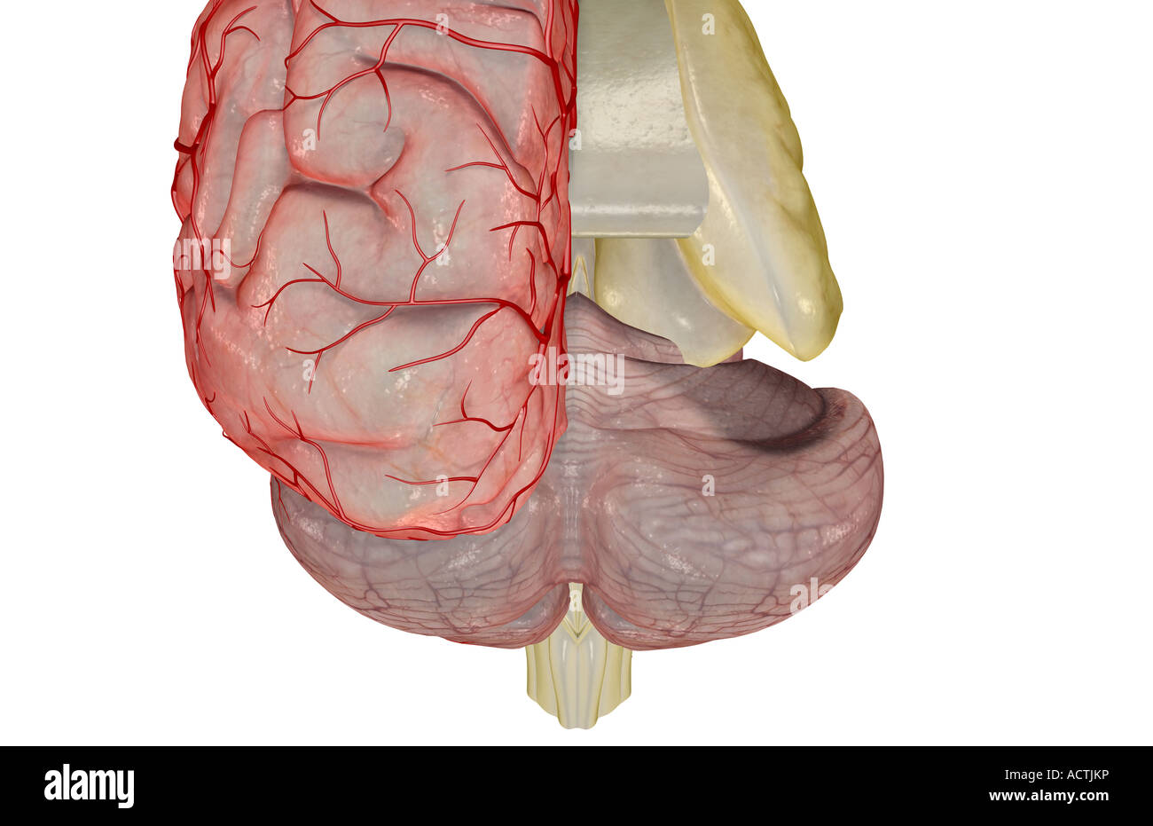 Cerebral Arteries Stockfotos & Cerebral Arteries Bilder - Alamy