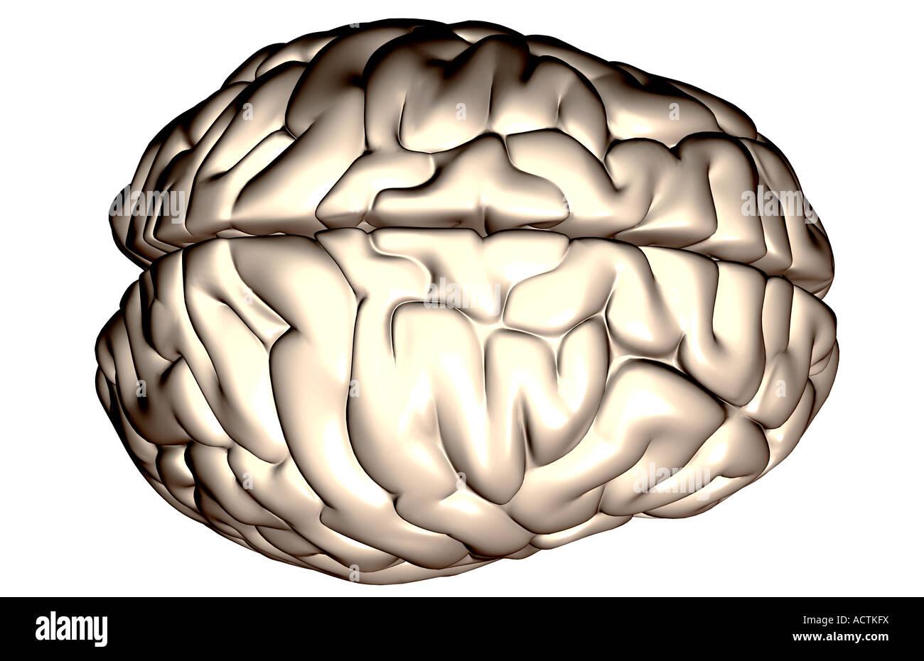 Cerebral Lobe Stockfotos & Cerebral Lobe Bilder - Alamy