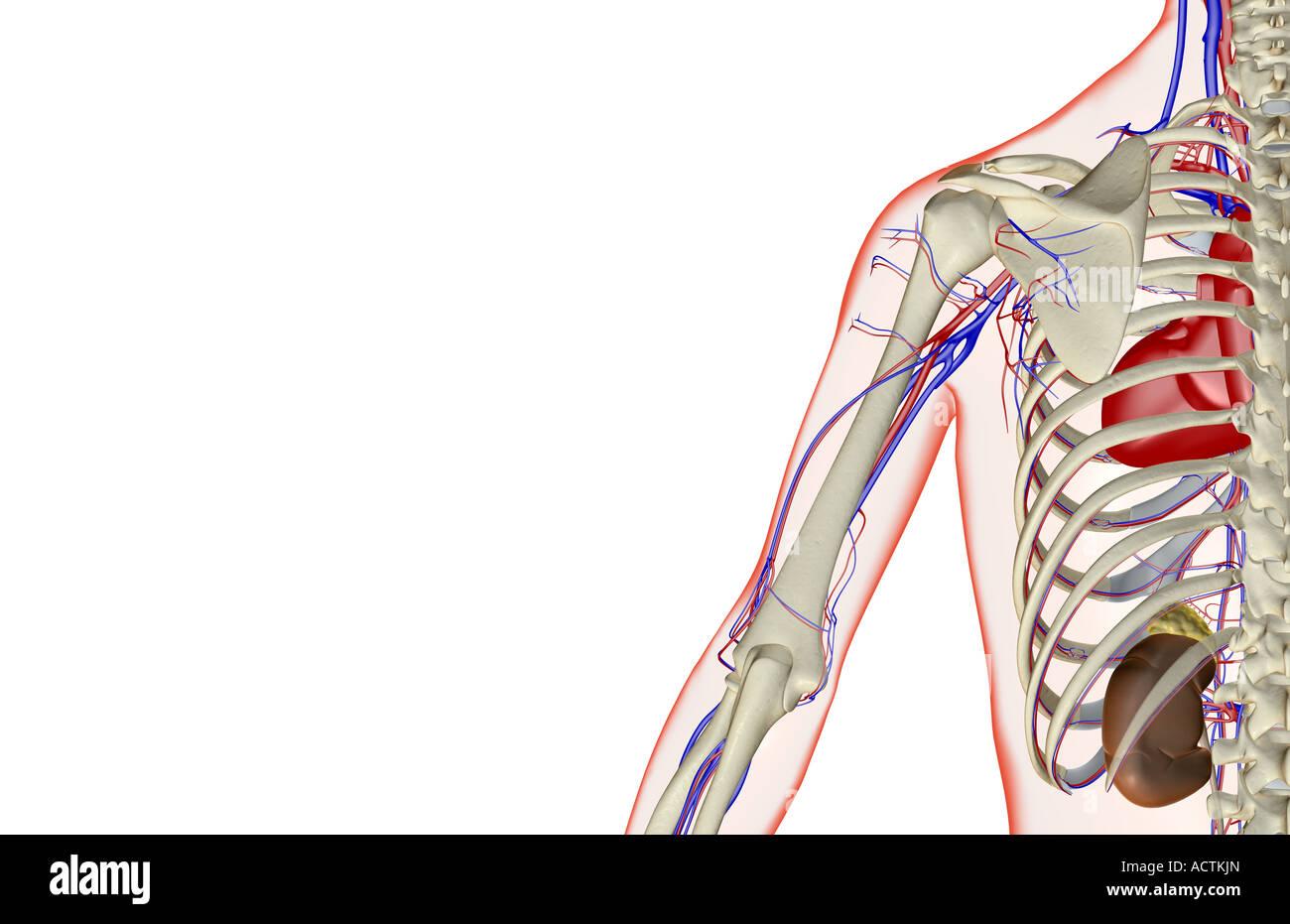 Adrenal Glands Stockfotos & Adrenal Glands Bilder - Alamy