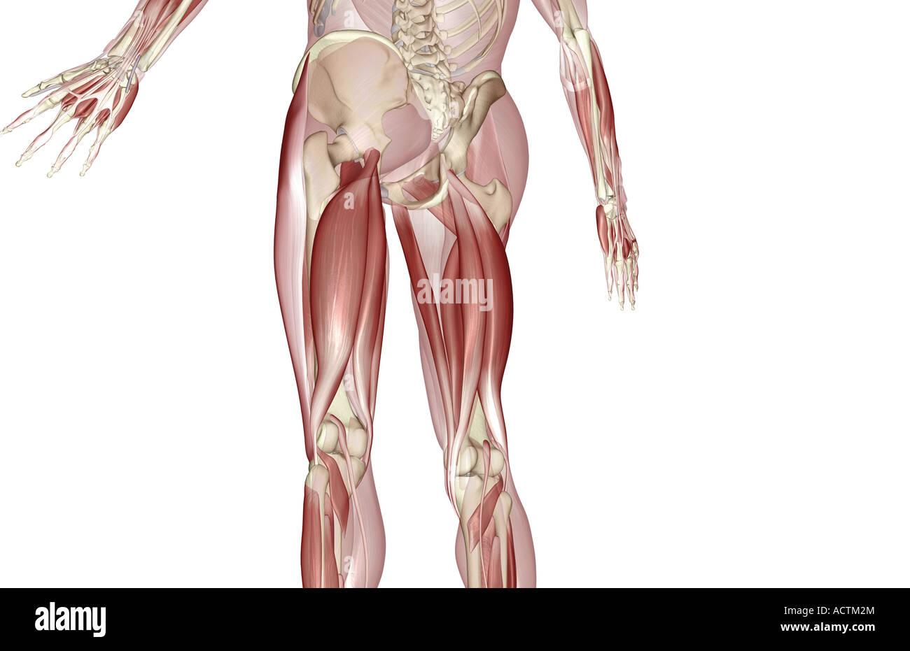 Muskeln der Oberschenkel Stockfoto, Bild: 13228123 - Alamy