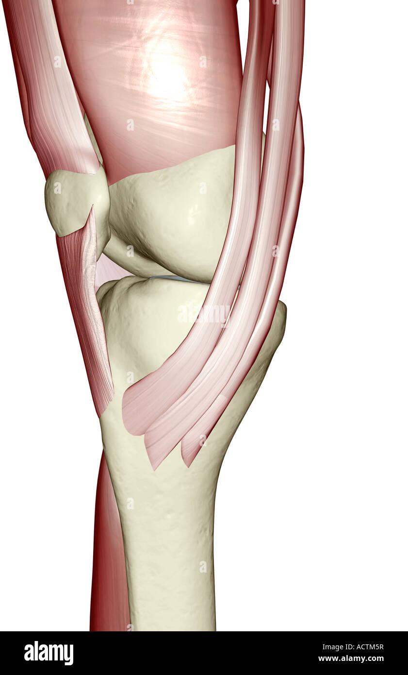 Erfreut Diagramm Des Knies Bilder - Menschliche Anatomie Bilder ...