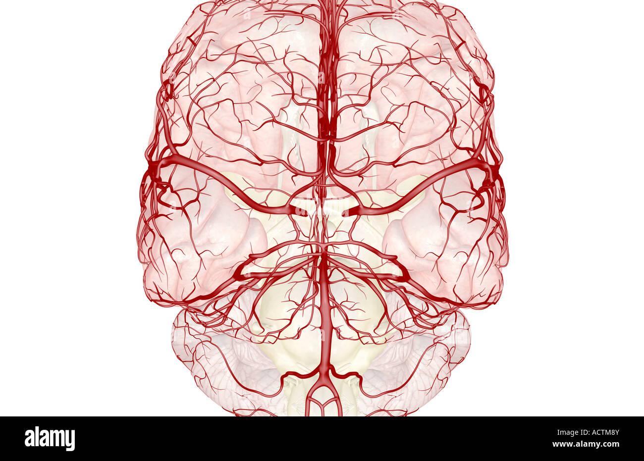 Circulus arteriosus cerebri Stockfoto, Bild: 13228202 - Alamy