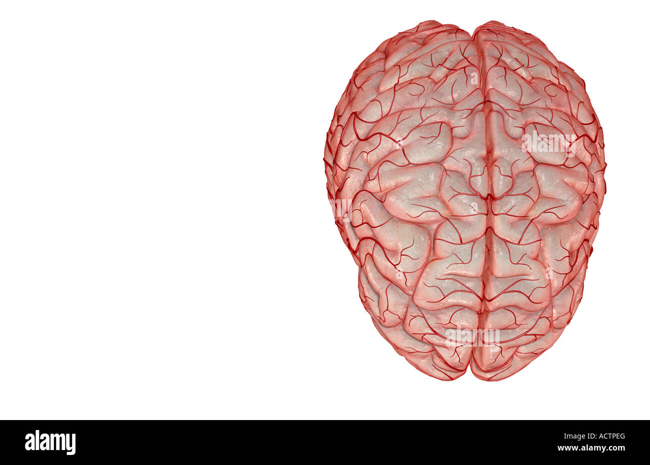 Middle Cerebral Artery Stockfotos & Middle Cerebral Artery Bilder ...
