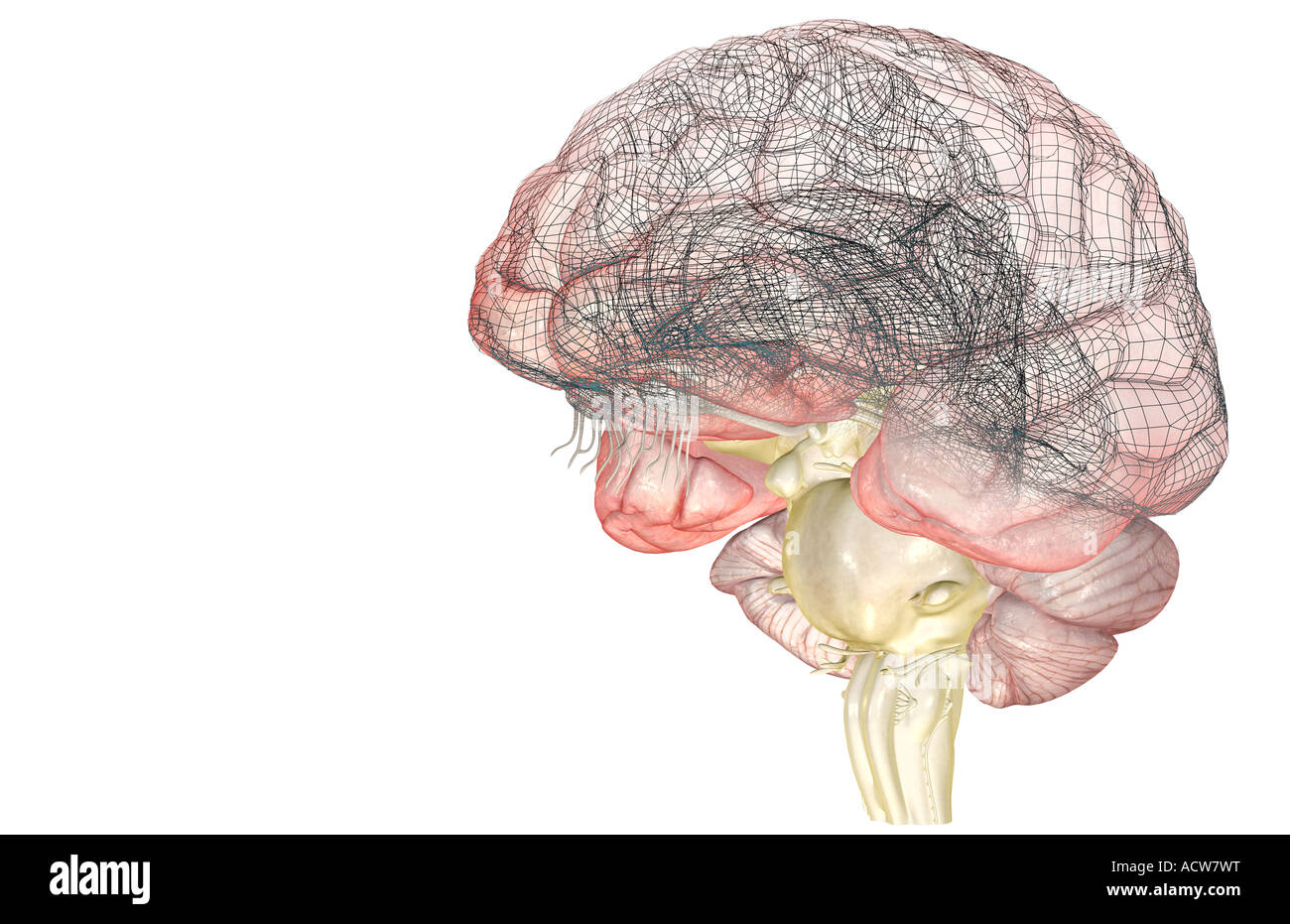 Vagus Nerve Stockfotos & Vagus Nerve Bilder - Alamy