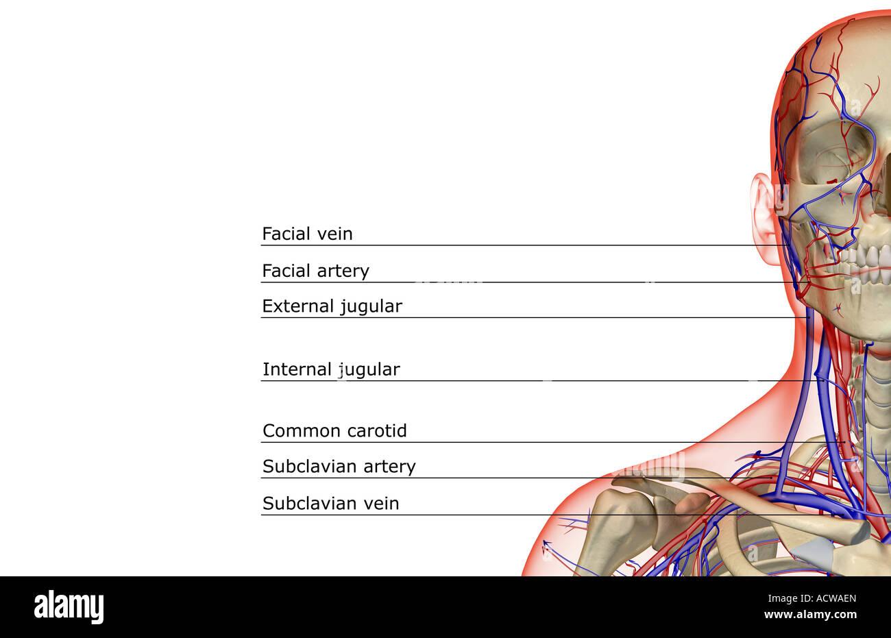 Ungewöhnlich Anatomie Des Halses Ppt Fotos - Menschliche Anatomie ...