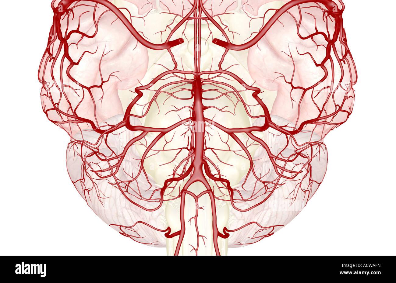 Circulus arteriosus cerebri Stockfoto, Bild: 13234328 - Alamy