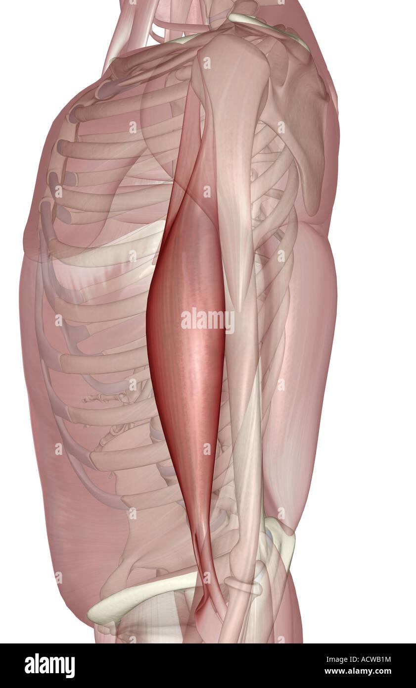 Biceps Brachii Stockfotos & Biceps Brachii Bilder - Alamy