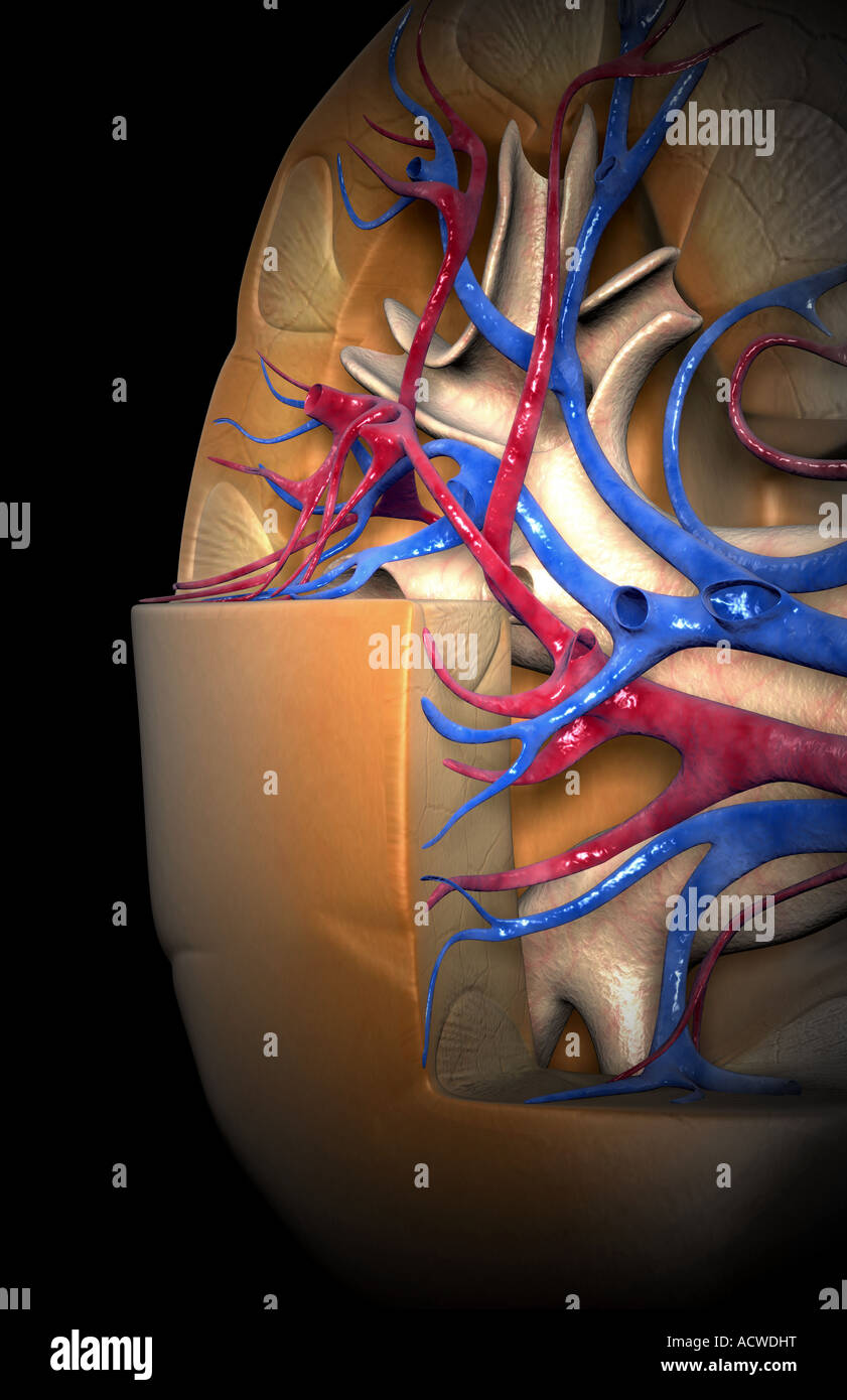 Renal Blood Vessels Stockfotos & Renal Blood Vessels Bilder - Seite ...
