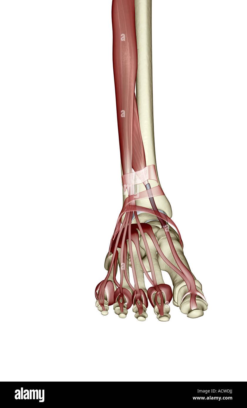 Muskeln des Unterschenkels und des Fußes Stockfoto, Bild: 13235369 ...