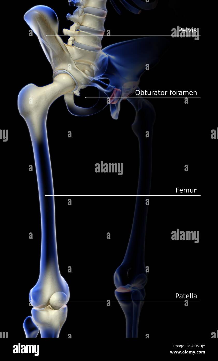 Berühmt Equine Untere Extremität Anatomie Fotos - Anatomie Von ...