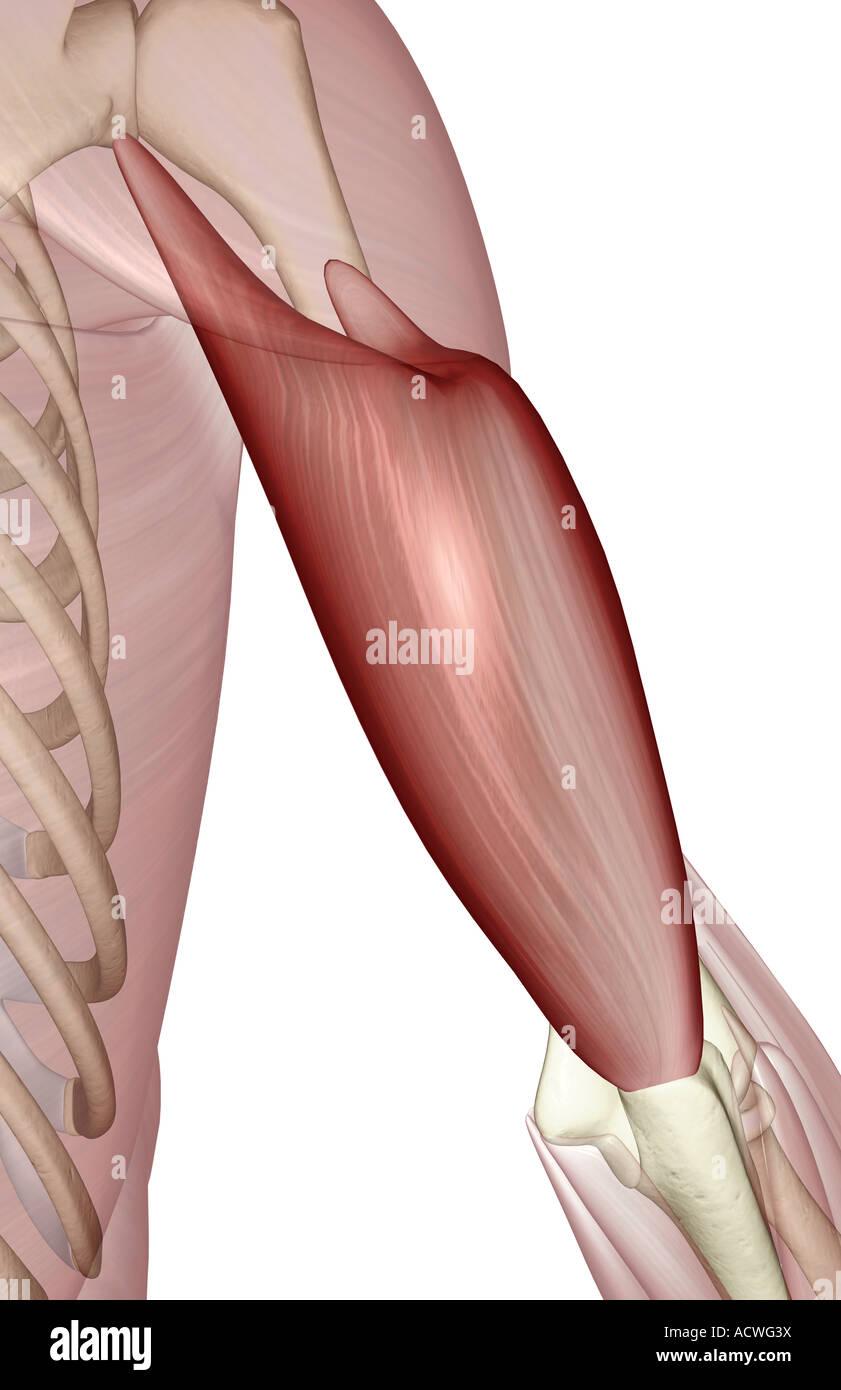 Triceps Brachii Stockfotos Triceps Brachii Bilder Alamy