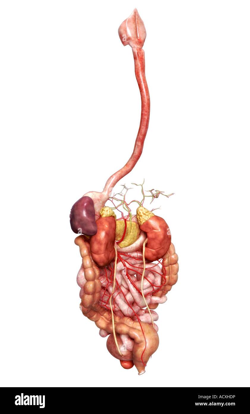 Charmant Verdauungssystem Anatomie Und Physiologie Fotos - Anatomie ...