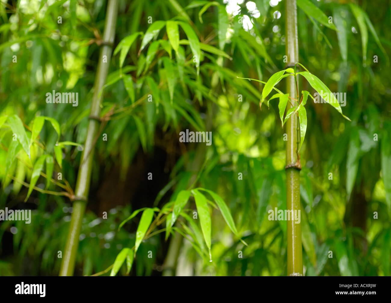 Sankai En japanischer Garten Bambus Stockfoto, Bild: 13248144 - Alamy