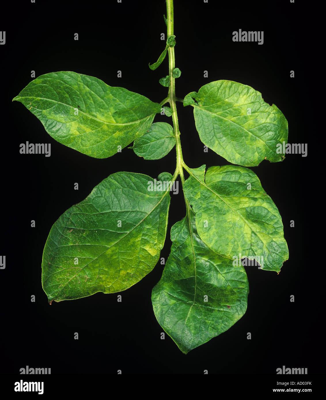 Schwere typische Symptome von Mosaik-Virus-Infektion auf einem Kartoffel-Blatt Stockbild