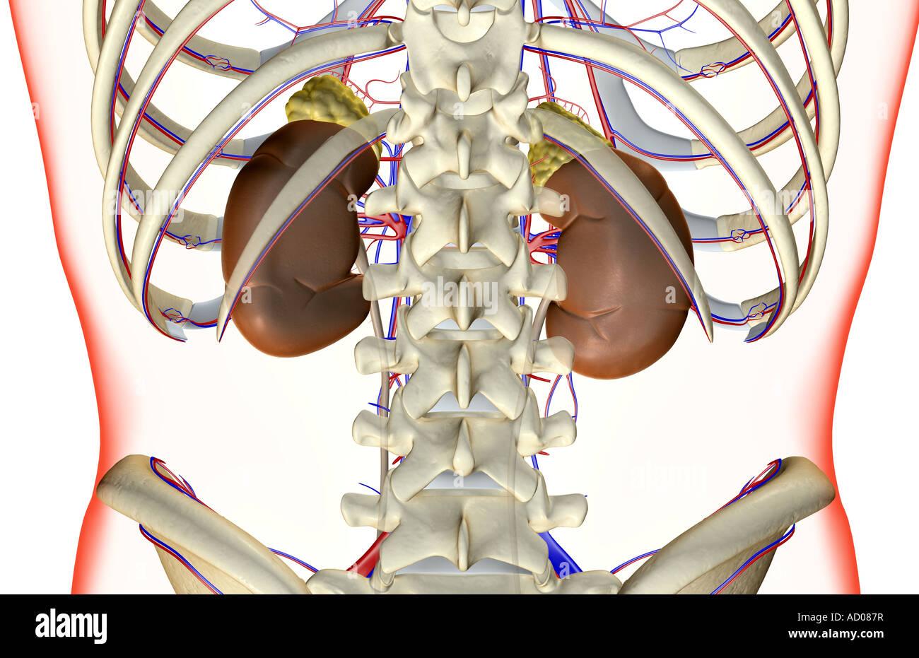 Kidneys Human Stockfotos & Kidneys Human Bilder - Seite 3 - Alamy