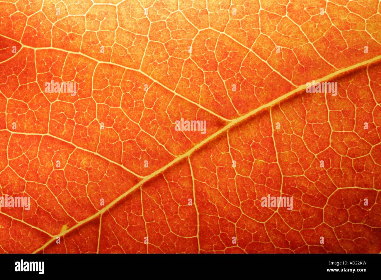 Makro von einem farbigen Blatt im Herbst Stockbild