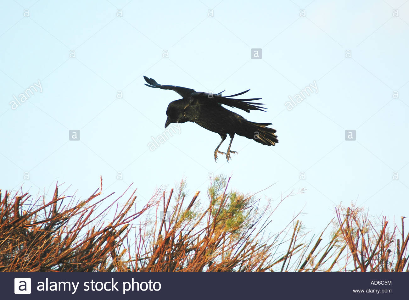 Krahe Corvus Corone Corone Hangen In Den Wind Oben Schneiden