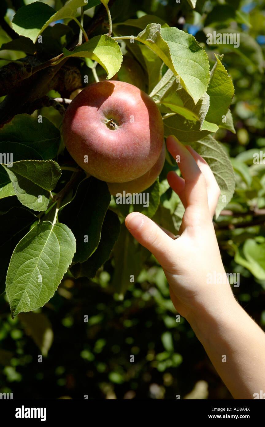 Eine Hand greift einen reifen roten Apfel von einem Baum Stockbild