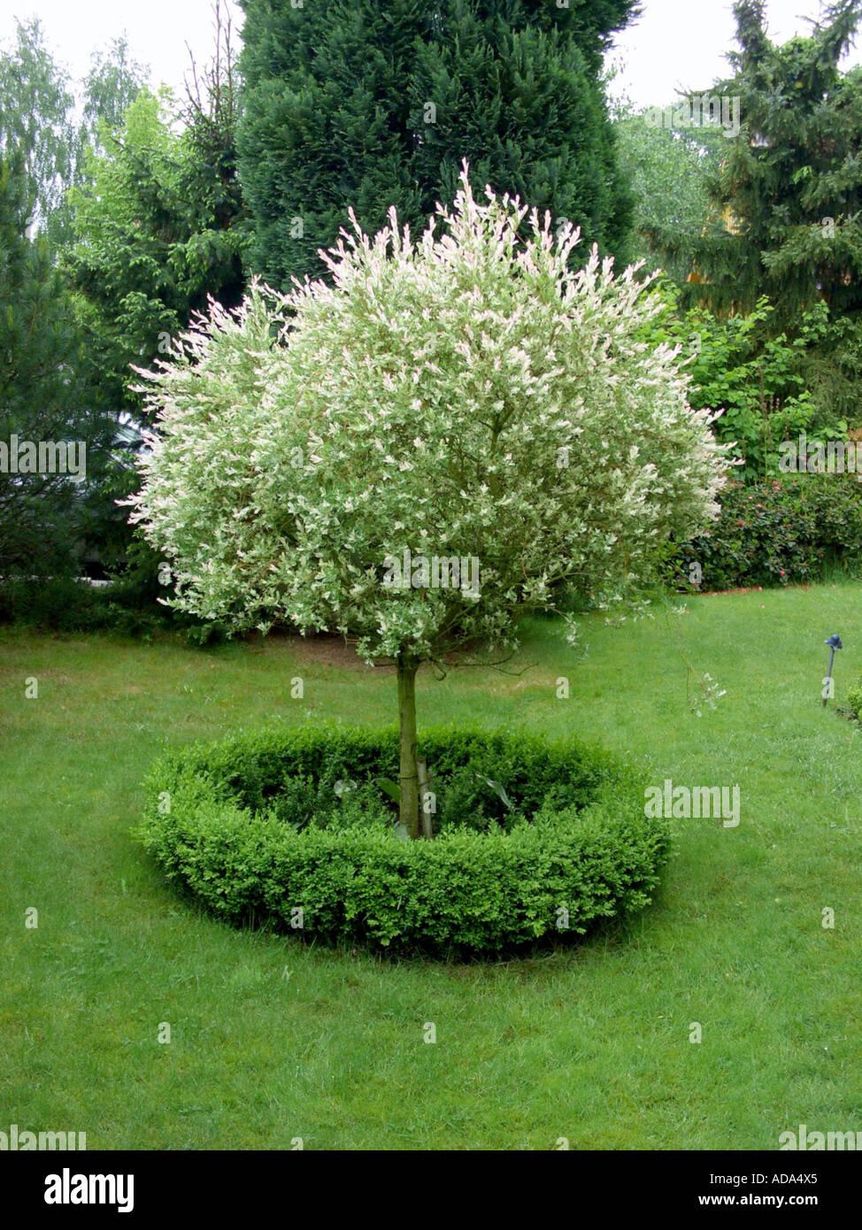 Gefleckte Willow Bunte Weide Salix Integra Hakuro Nishiki