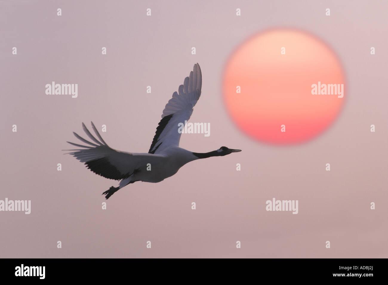 Rot gekrönter Kran fliegen mit Sonnenuntergang Heilongjiang Provinz China Stockbild