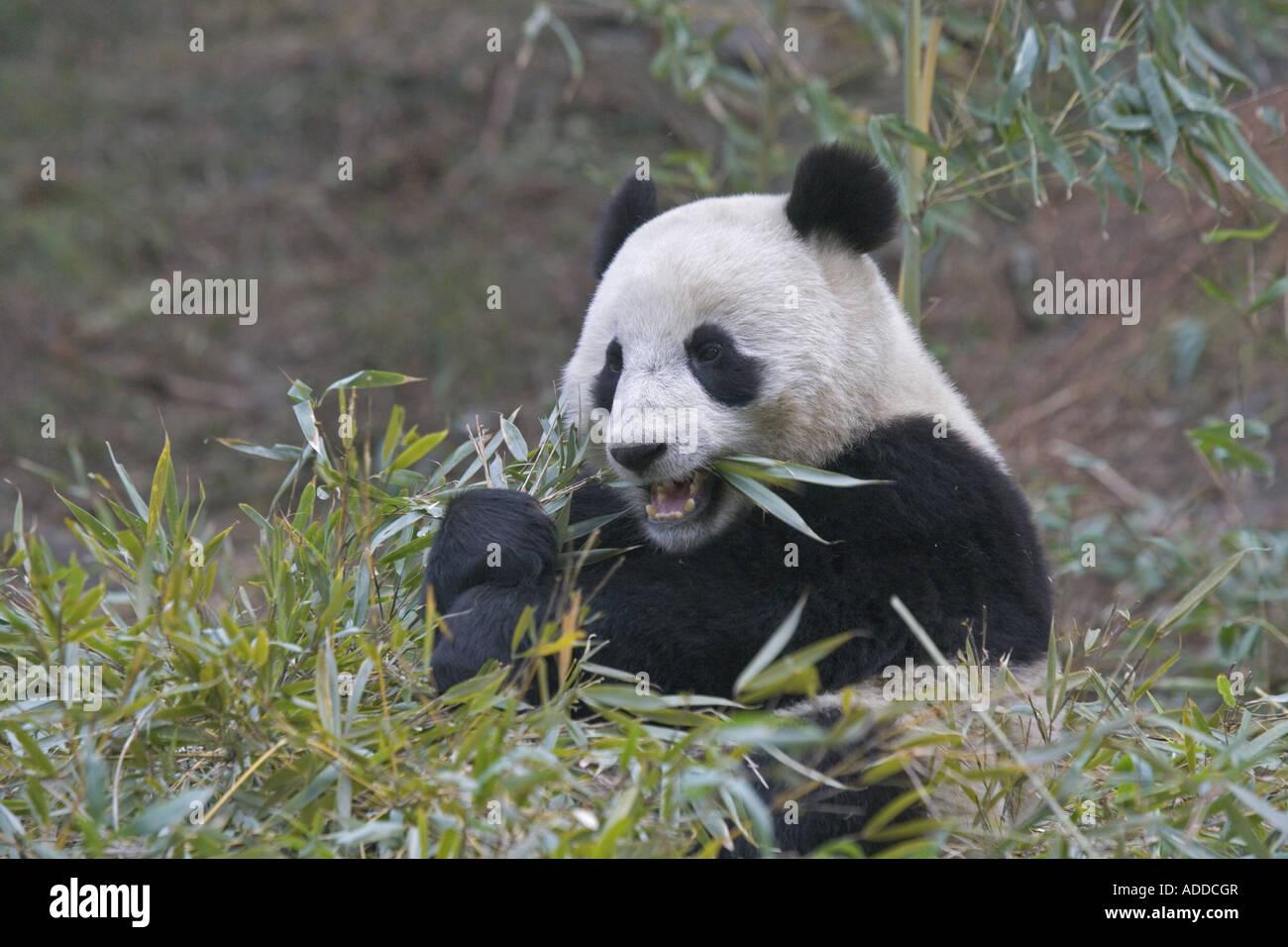 Giant Panda Bambus Wolong China Essen Stockfoto Bild 13385542 Alamy