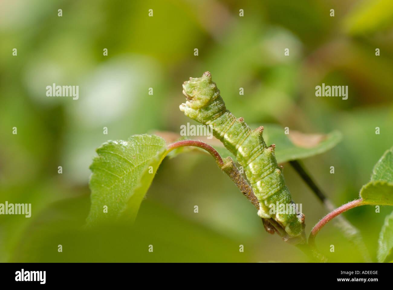 Großer Smaragd (Geometra Papilionaria) voll ausgewachsene Raupe auf Birke Stockbild
