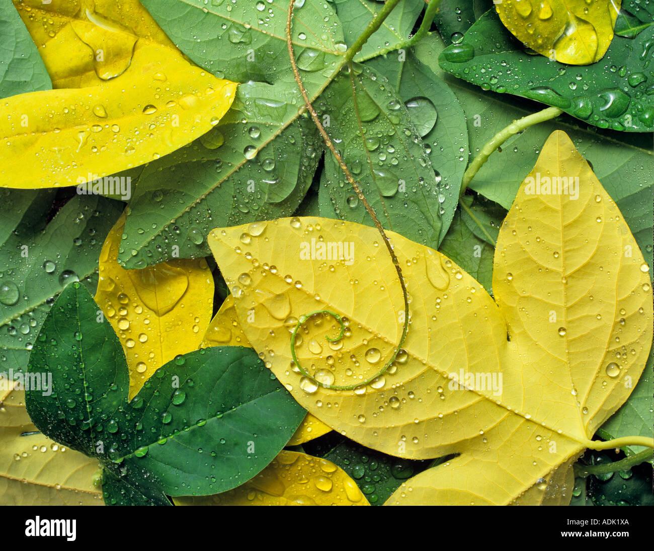 Blätter fallen und Ranke aus Leidenschaft Pflanze mit Tau Stockbild