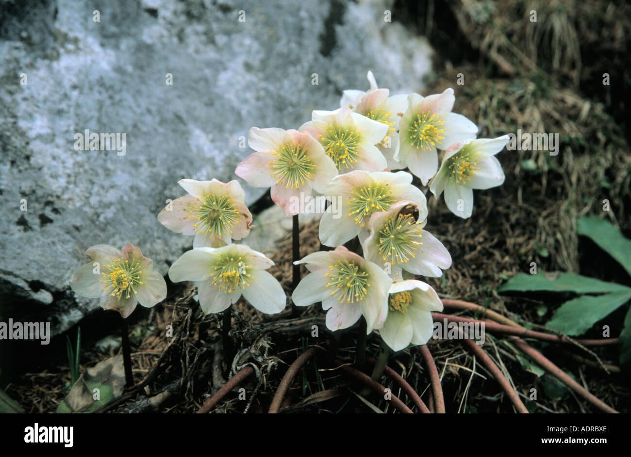 Snow Roses Helleborus Niger Nieswurz Weihnachten stieg Schneerose ...