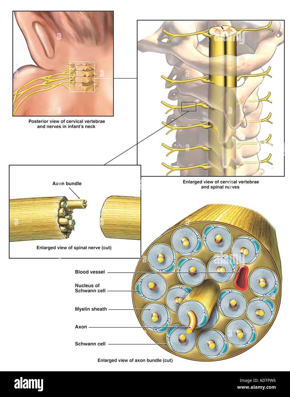 Anatomie der Spinalnerven in den Plexus brachialis Stockfoto, Bild ...