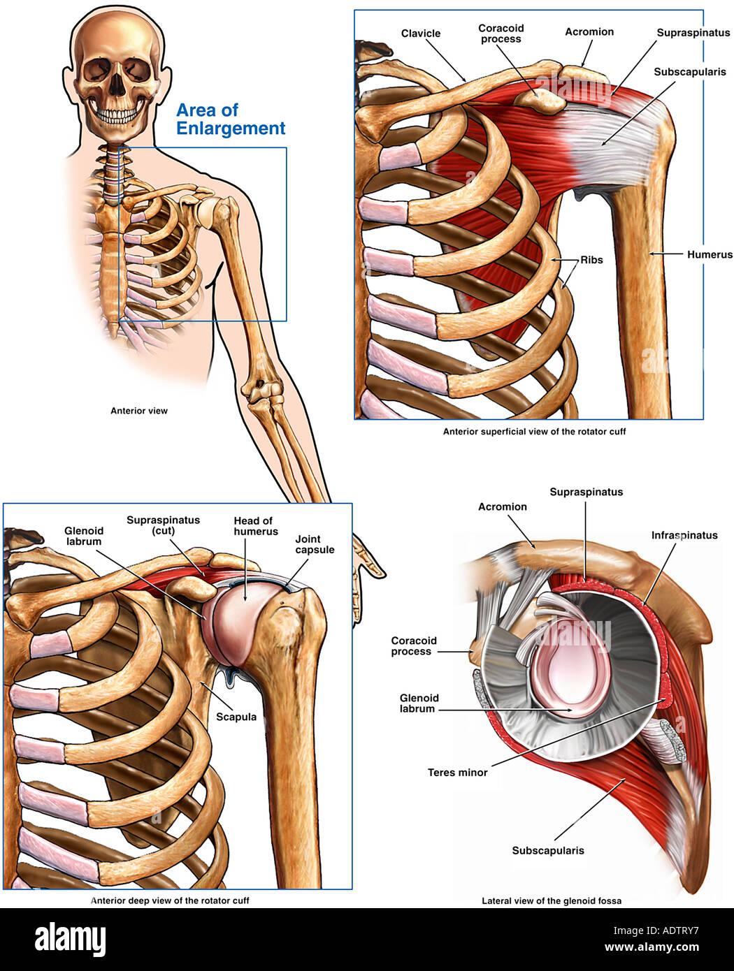Atemberaubend Schulter Ultraschall Anatomie Fotos - Menschliche ...